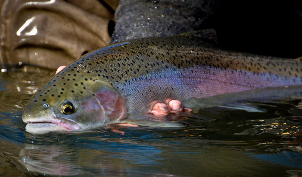 Grande ronde river steelhead fishing trip little creek for Oregon steelhead fishing