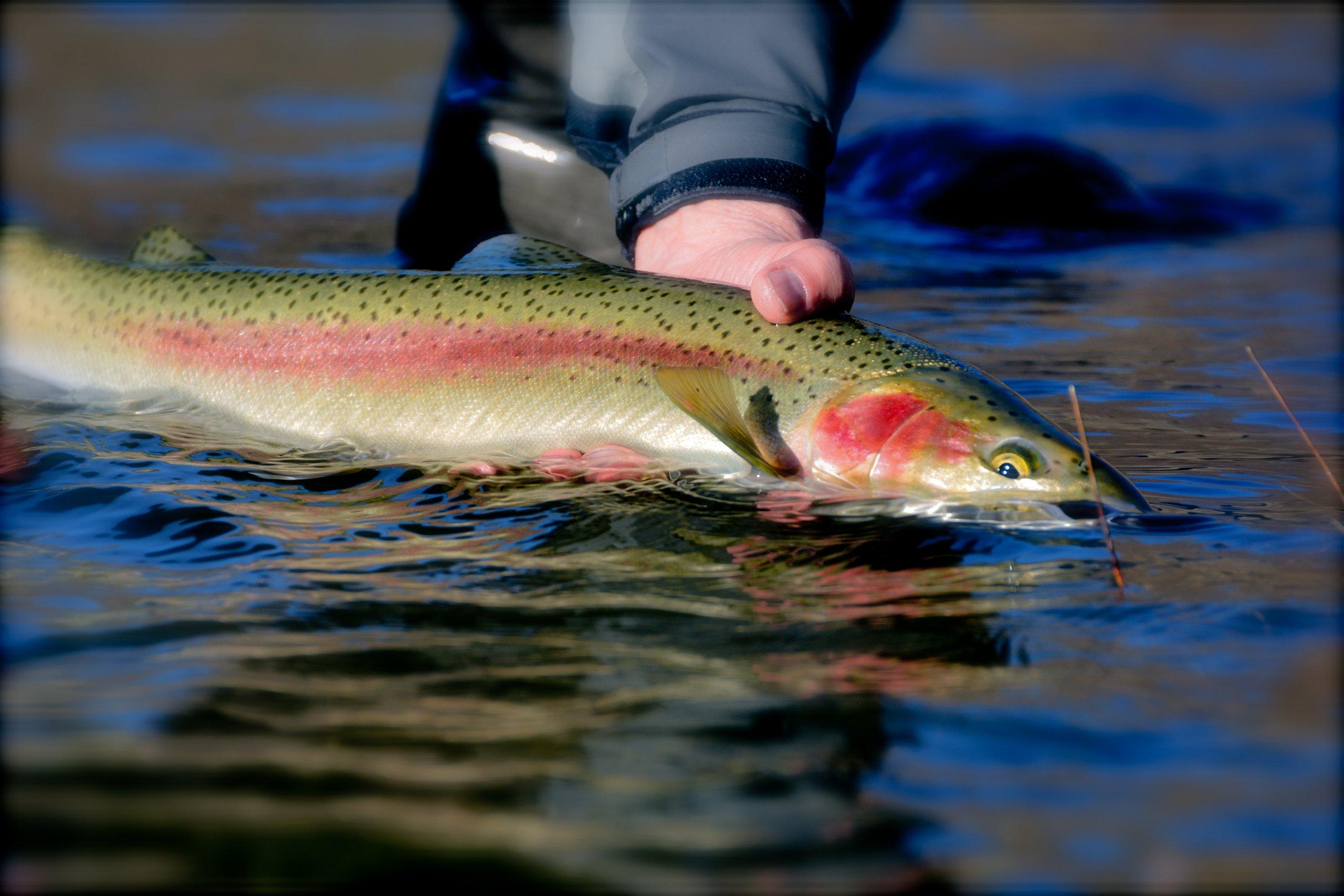John day river steelhead fishing trip little creek for Steelhead fly fishing